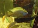Nimbochromis Venustus vient d'arriver Cimg2711