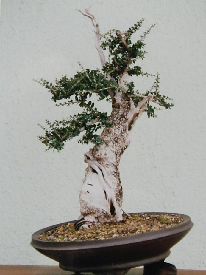 Nuovo arrivo in collezione: Olivastro maiorchino  Bonsai11