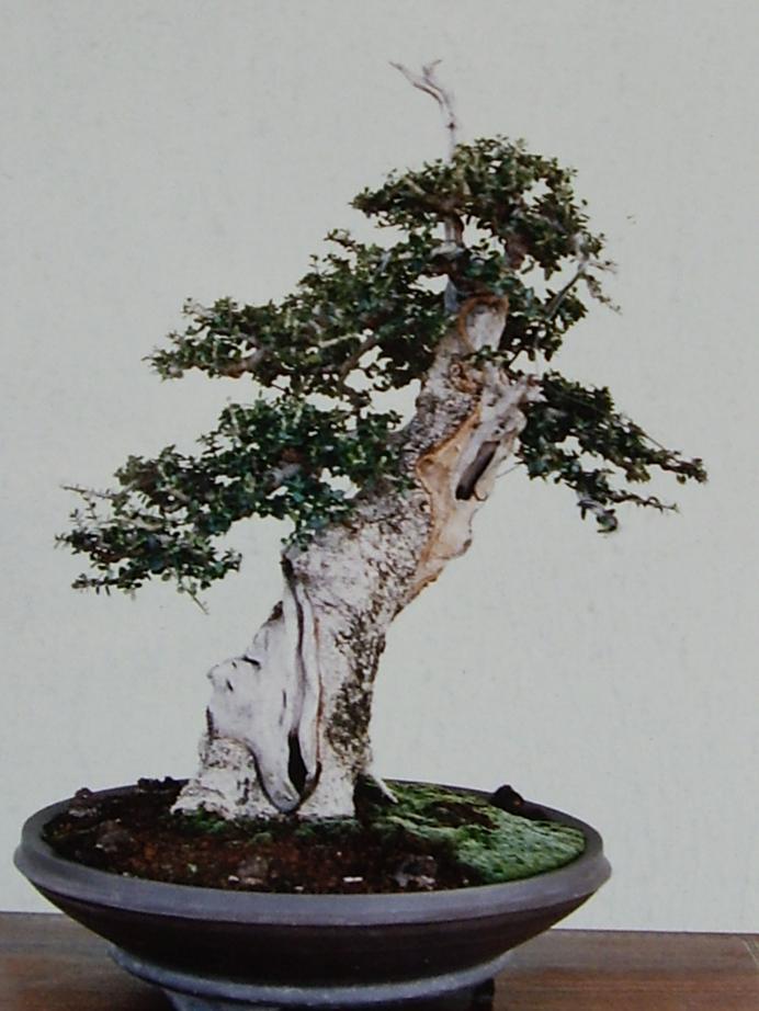 Nuovo arrivo in collezione: Olivastro maiorchino  Bonsai12