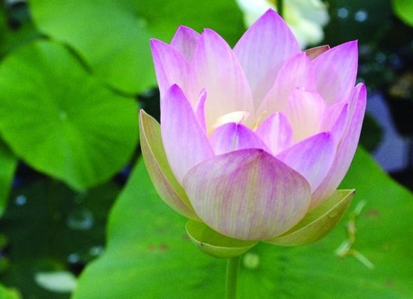 bassin de jardin 8000L - Page 6 Lotus-11
