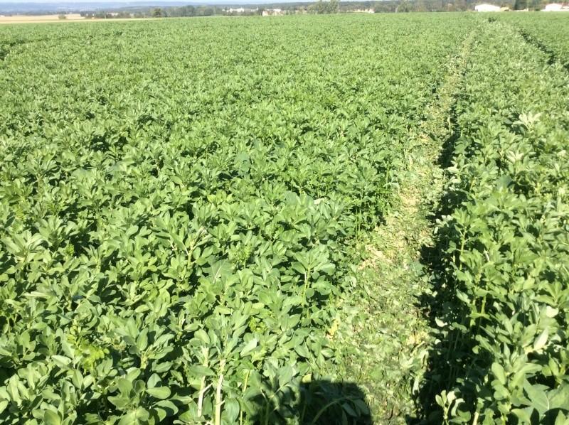 Semis de blé dans des repousses de féveroles Image11