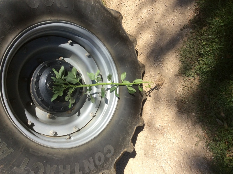 Semis de blé dans des repousses de féveroles Image14
