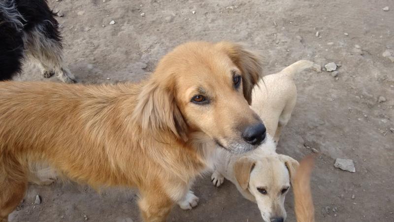 BOUNDASH II, né 2012, 25 kg (BELLA) Pris en charge Association Animals Rescue (Belgique) 07_10_20