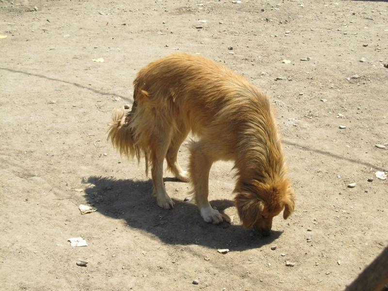 BOUNDASH II, né 2012, 25 kg (BELLA) Pris en charge Association Animals Rescue (Belgique) 16_02_10