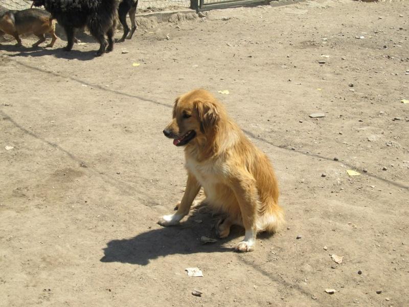 BOUNDASH II, né 2012, 25 kg (BELLA) Pris en charge Association Animals Rescue (Belgique) 16_09_11
