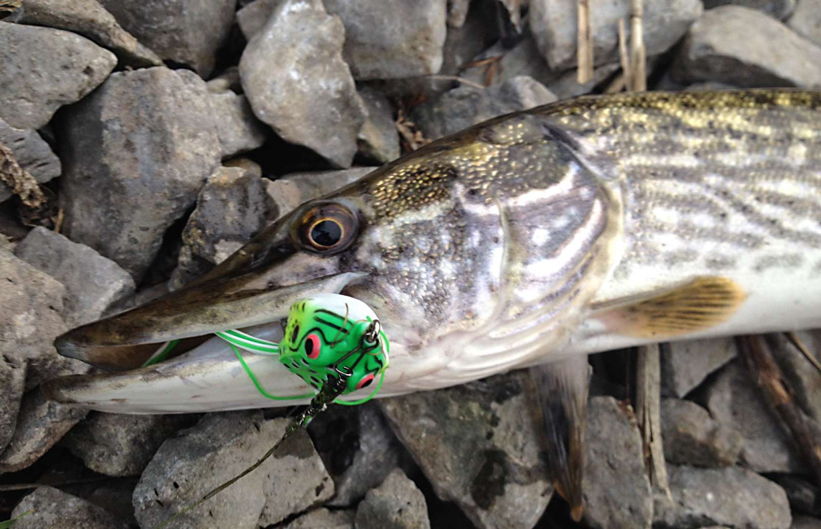 Trofei di pesca 20151011