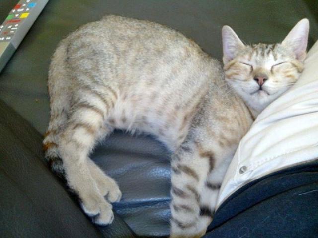 (adoptée) MAFALDA, chatonne tigrée (13)  Mafala12