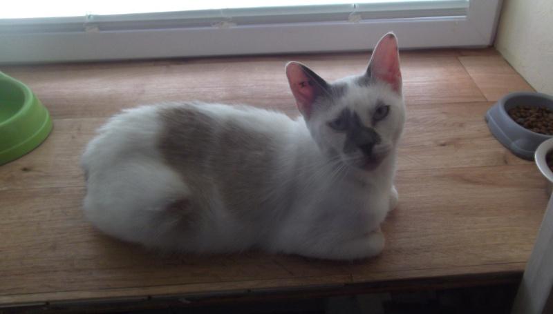 JULIA, chatte croisée siamoise blanc crème & fauve, née en janvier 2014 00110