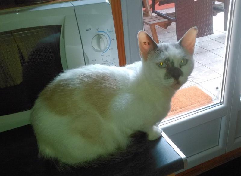 JULIA, chatte croisée siamoise blanc crème & fauve, née en janvier 2014 11975310