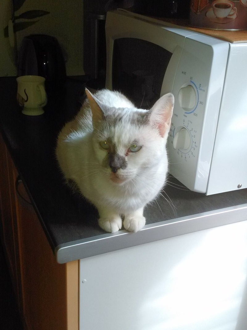JULIA, chatte croisée siamoise blanc crème & fauve, née en janvier 2014 11996410