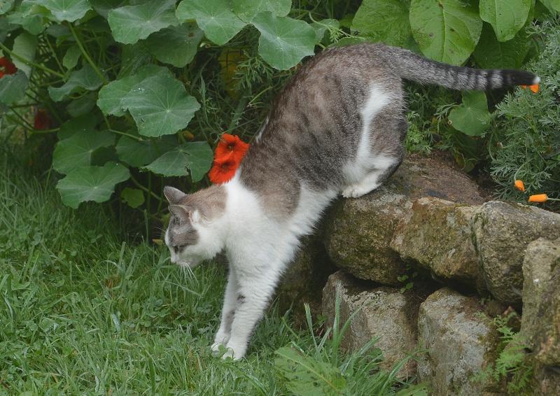Hazura, femelle tabby grise & blanche, née le 01/01/2012 Conver10