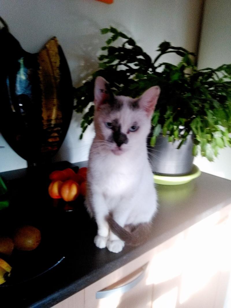 JULIA, chatte croisée siamoise blanc crème & fauve, née en janvier 2014 Img_2010