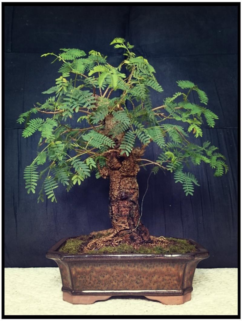 Leucaena Leucocephala (aka Mimosa, Haole koa) progression from Yamadori 14461510