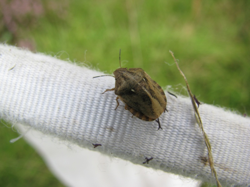 [Eurygaster sp] Eurygaster maura ? Img_4913