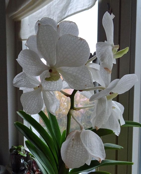 Orchideen in Glasvasen 4 (SGK) - Seite 3 Vanda610