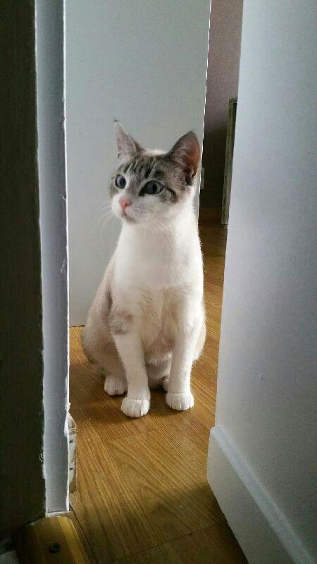 Laïka jeune chatte typée siamoise, gestante, à la rue - Page 2 20150910