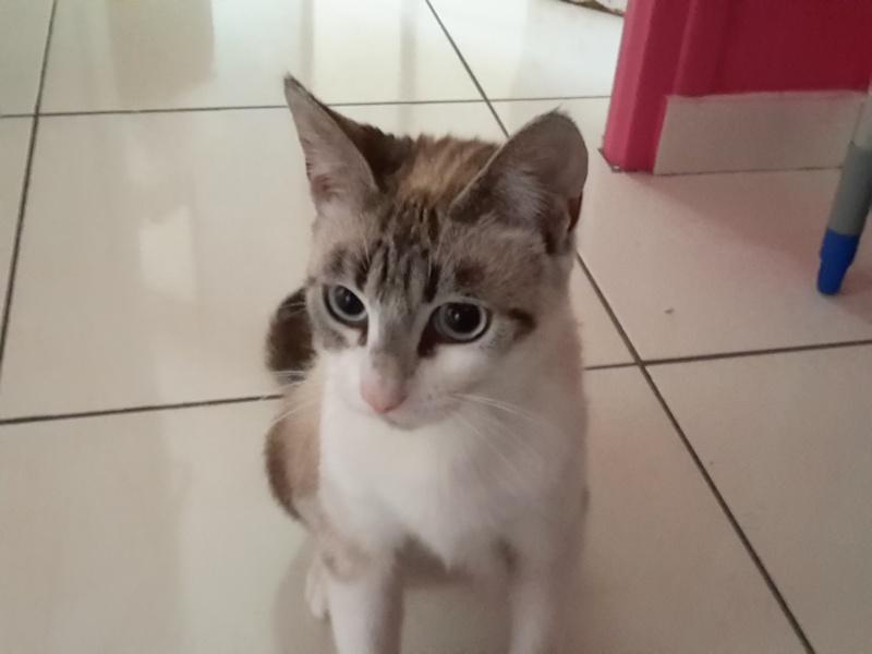 Laïka jeune chatte typée siamoise, gestante, à la rue - Page 2 Laika_10