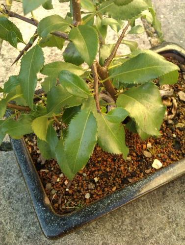 Mystery Tree Help please  Mp210