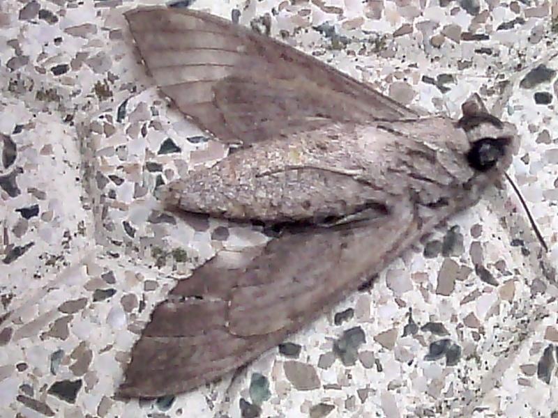 i v n i insecte volant non identifié Img_2014