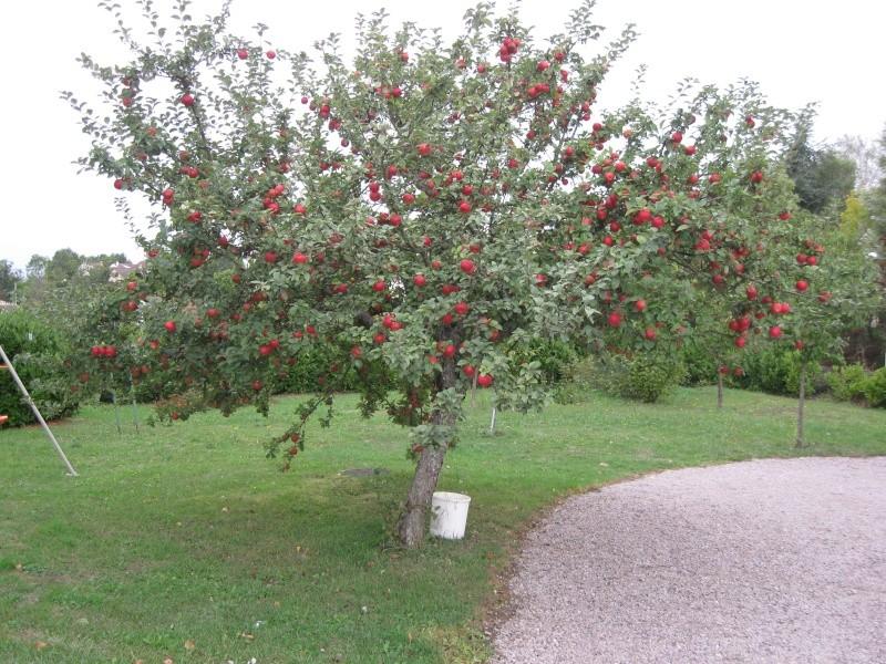 Ah, la reine des reinettes! Pommes10