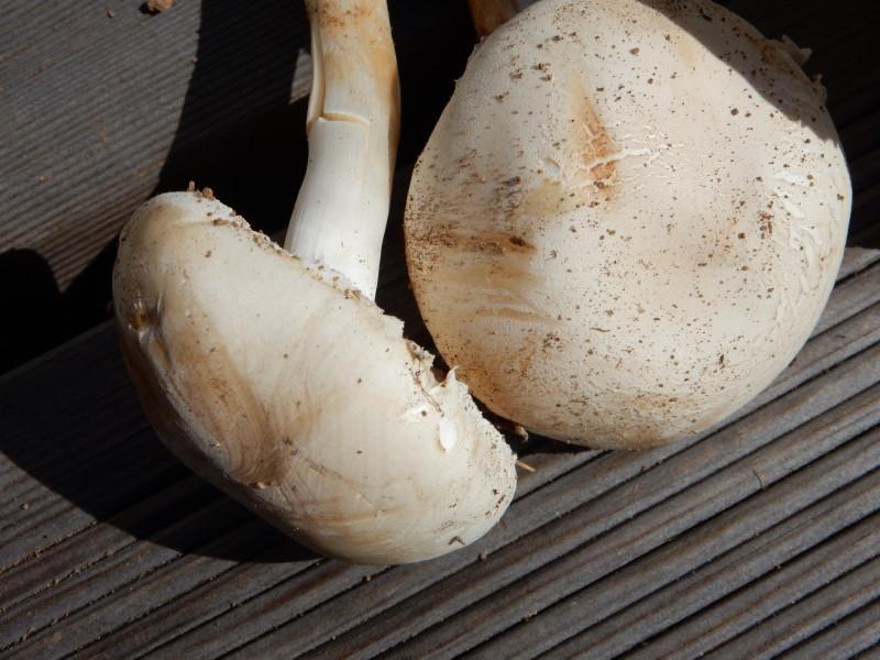 champignons à identifier 00211