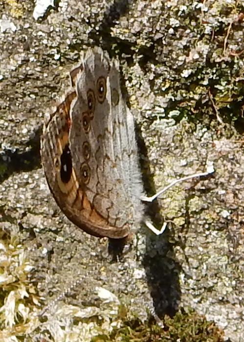 Lasiommata maera maera L 1758 : Ariane avant l'envol F_00210