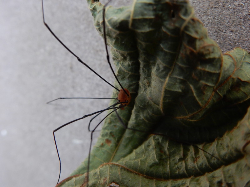 [résolu]araneus diadematus Clerck 1757 épeire diadème F_00212