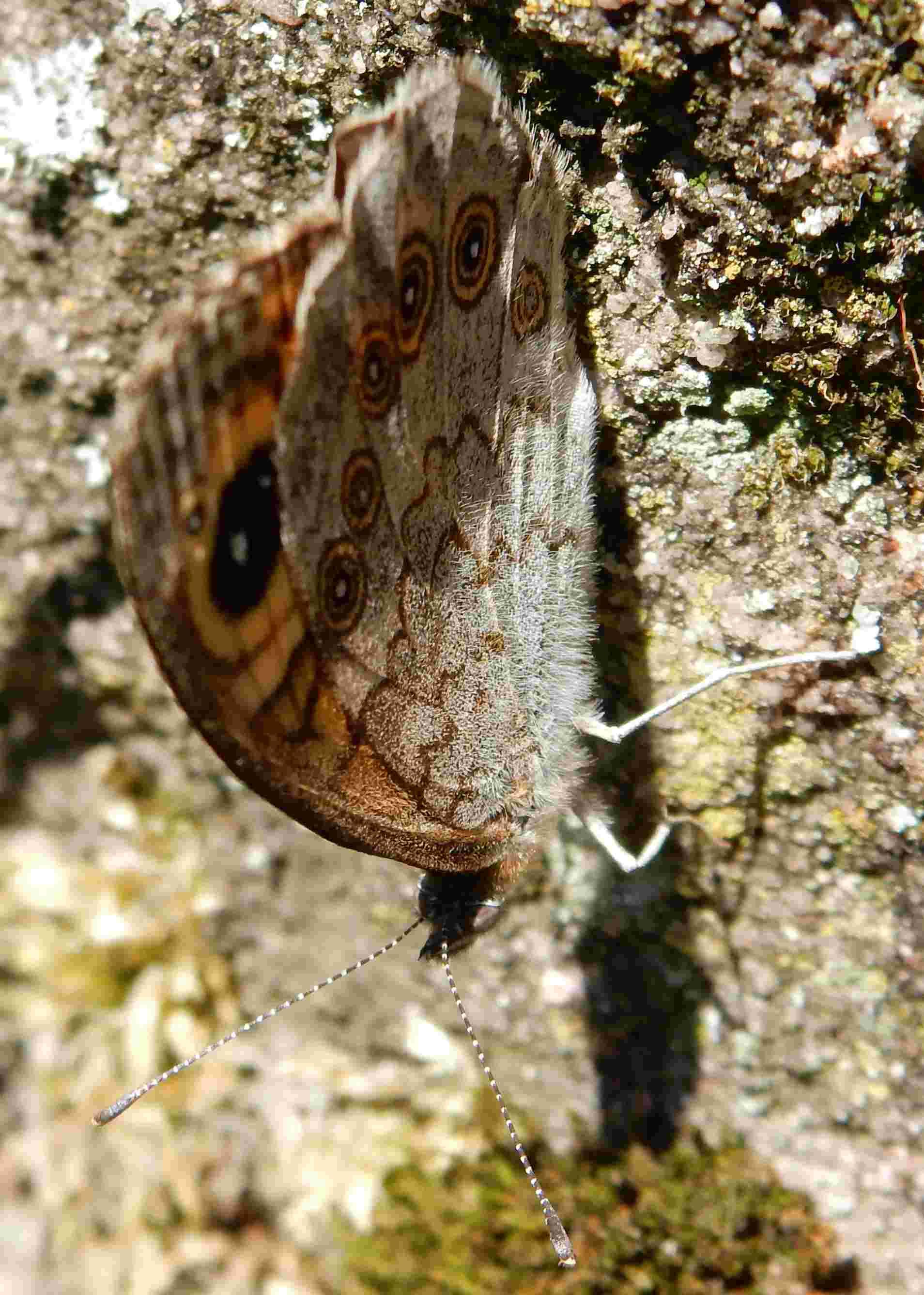 Lasiommata maera maera L 1758 : Ariane avant l'envol F_00510