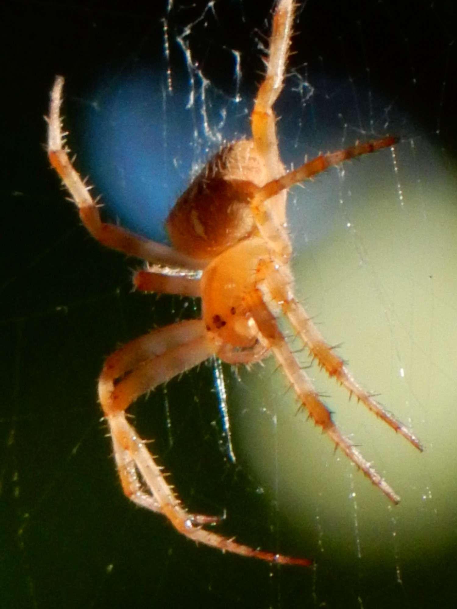 [résolu]araneus diadematus Clerck 1757 épeire diadème F_00511