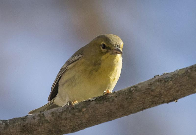 Rapace et un Petit oiseau ? Oiseau10