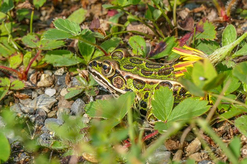 Grenouille léopard P1110611