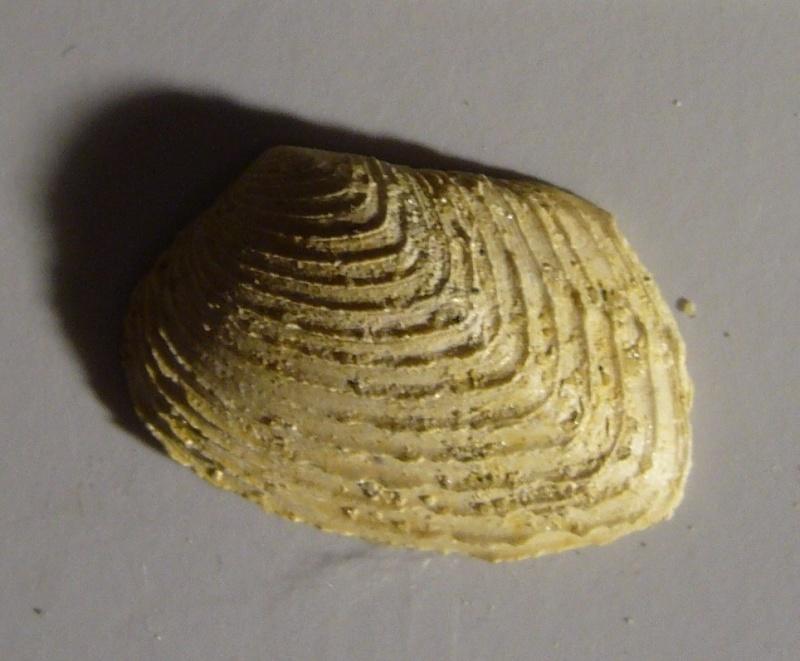 Identification fossile du bassin parisien N°03 P1100512