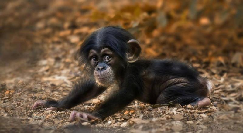 un peu de tendresse dans ce monde de brute ... - Page 4 Chimpa10
