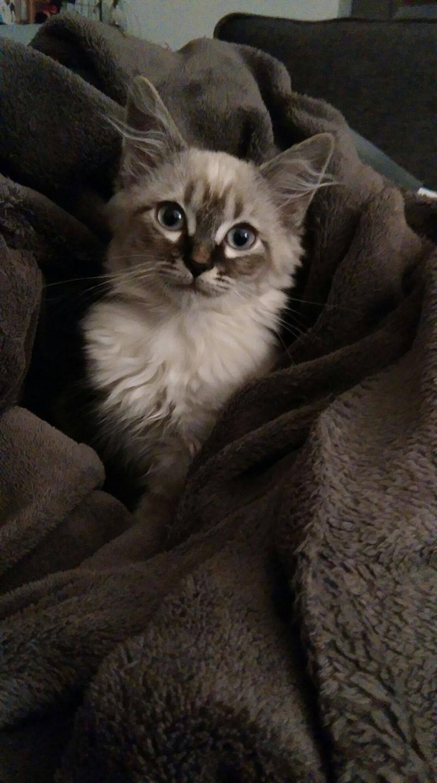 Lana, chatonne européene typée siamois, née en juillet 2015 11227910