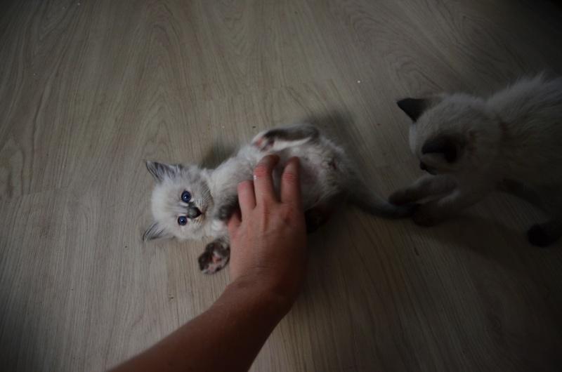 Loreleï, chatonne européenne, née en juillet 2015. Dsc_5511