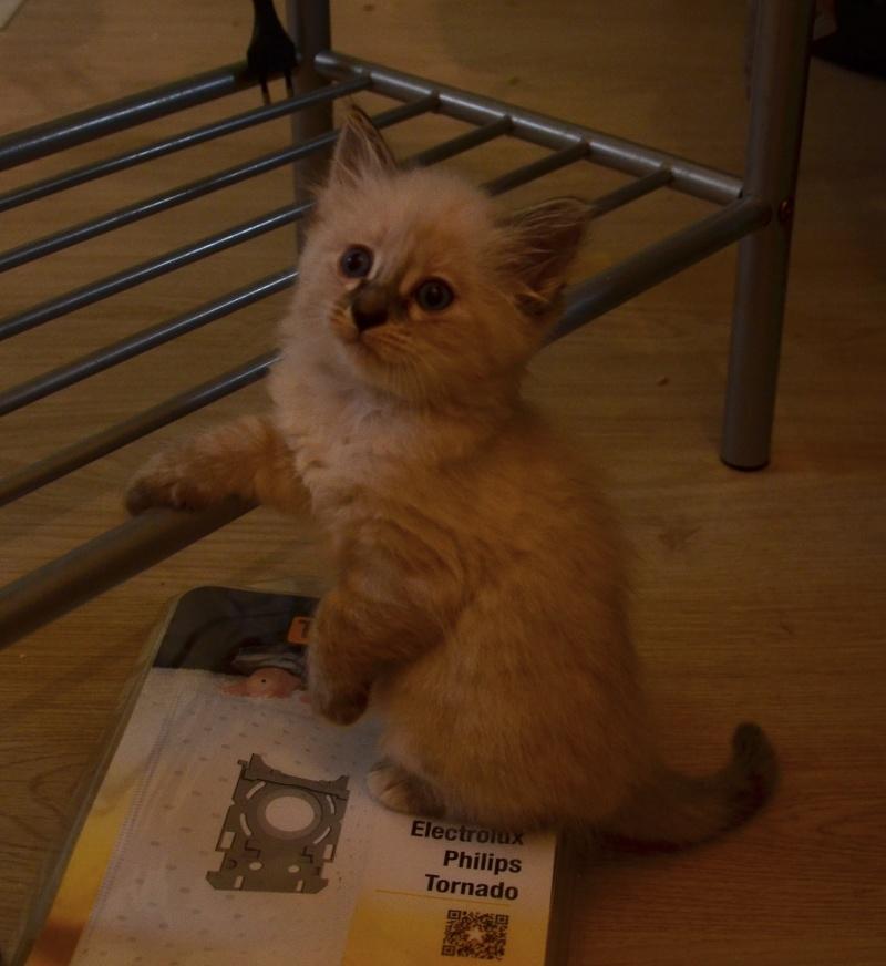 Loreleï, chatonne européenne, née en juillet 2015. Dsc_5611