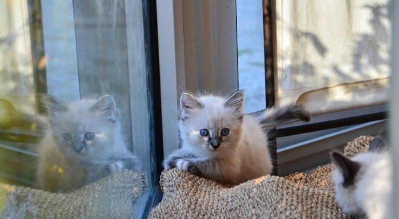 Loreleï, chatonne européenne, née en juillet 2015. Dsc_5816