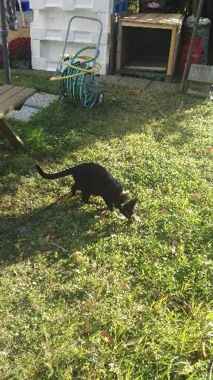 Jayane, femelle type européen noire, née le 07/12/2014, frais d'adoption libres Photo310