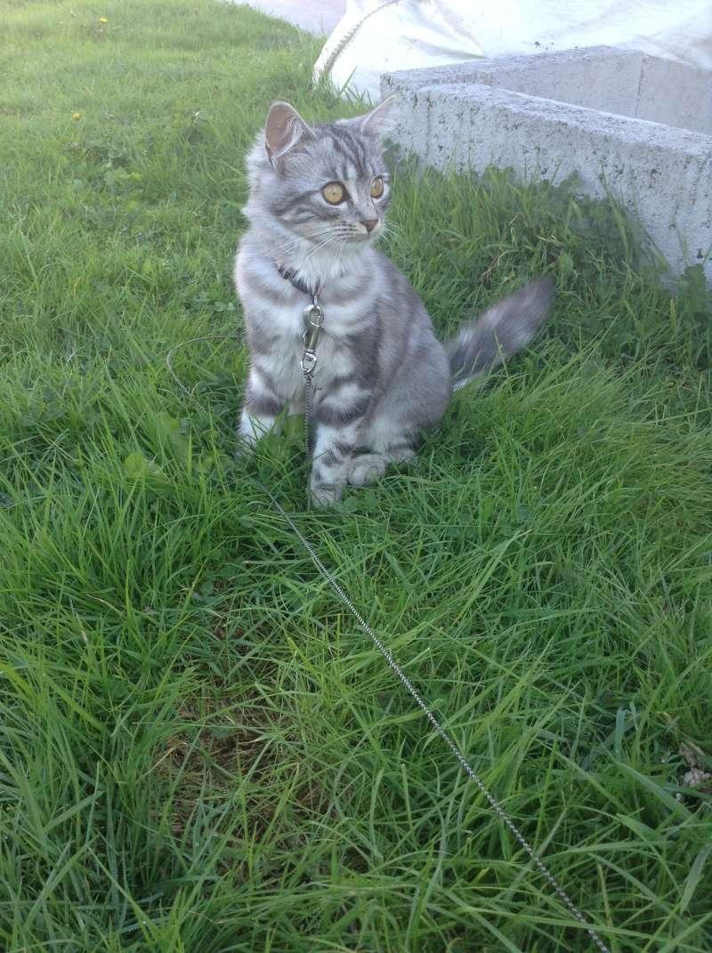 louna - LOUNA, chatonne tigrée claire, née le 01/06/2015 Img_4010