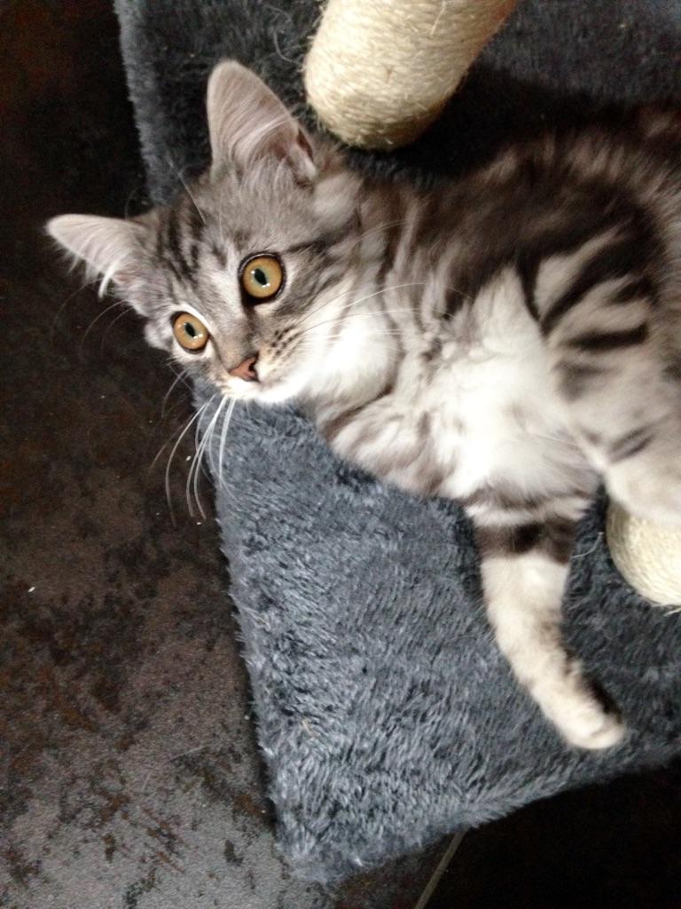 louna - LOUNA, chatonne tigrée claire, née le 01/06/2015 V_5e6a10