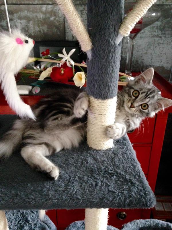 louna - LOUNA, chatonne tigrée claire, née le 01/06/2015 V_ea5010