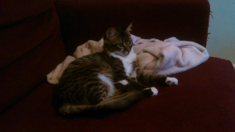 Oliver, mâle type européen tabby et blanc angora né en avril 2015 - Page 2 Dsc_1014