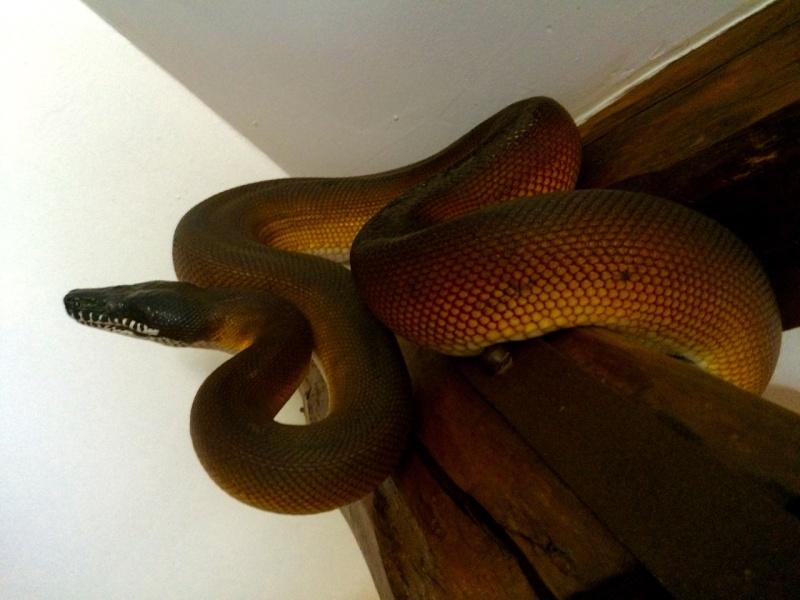 Python à lèvres blanches Leiopy14