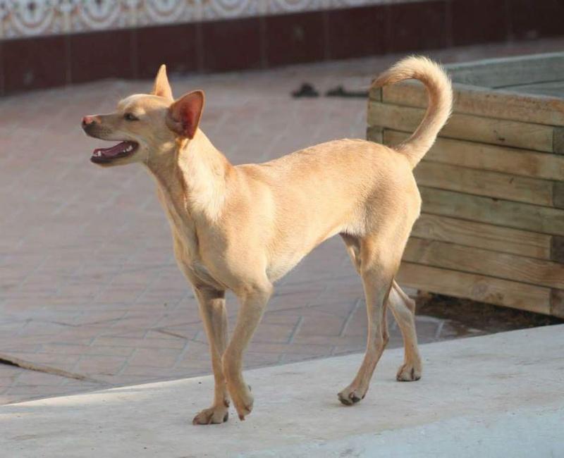 CINDY, petite chienne 35 cm 4 ans Cache104