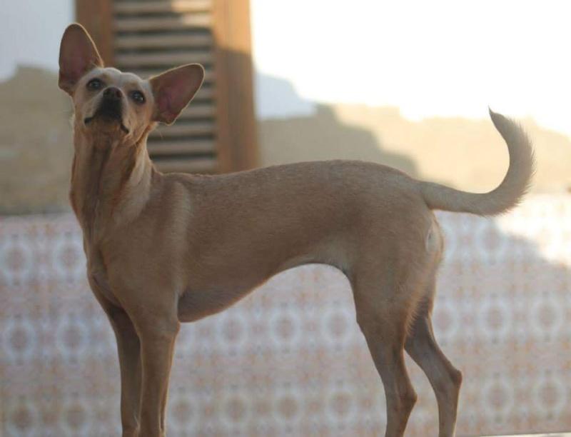 CINDY, petite chienne 35 cm 4 ans Cache106