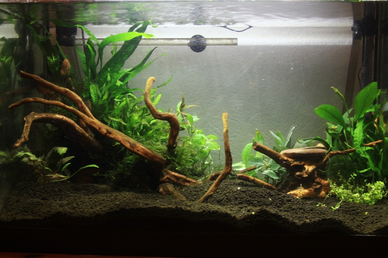 72 litres planté, Colisa - Corydoras Img_2613