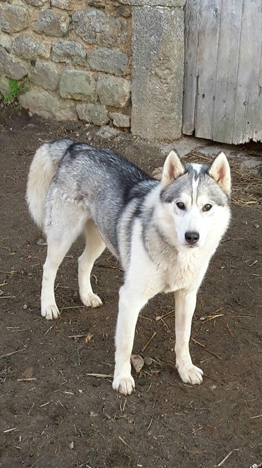 Husky de 3 ans lof à adopter (Urgent) Ice510