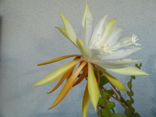 Epiphyllum anguliger - Page 2 Dsc04616