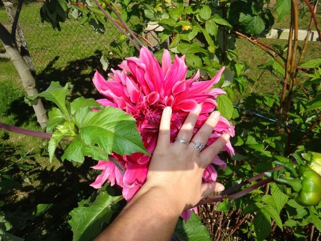Dahlia - variétés, culture - Page 3 Dsc04713