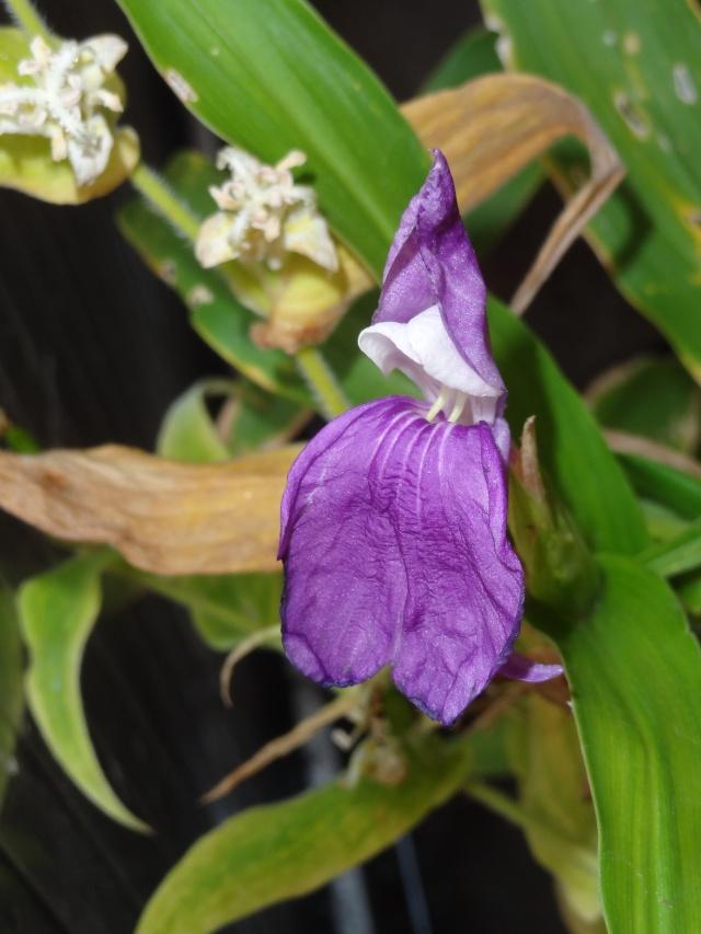 Roscoea purpurea = Roscoea procera - fausse-orchidée Dsc04810